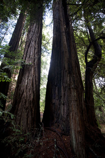 Looking up tall redwood trees at Muir Woods | Muir Woods National Monument | U.S.A.
