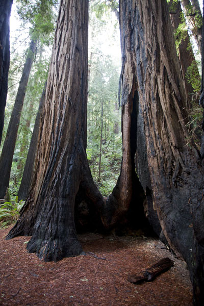 At the base of some of the redwood trees, open spaces can be found | Muir Woods National Monument | U.S.A.