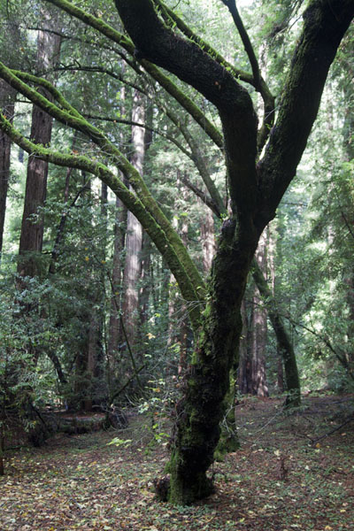 Picture of The forest of Muir Woods