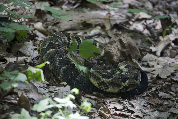 Foto de Rattlesnake curled up on the Tuscaroa-Overall Run TrailTemplo Mayor - Estados Unidos