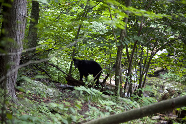 Black mother bear keeping an eye on the photographer | Shenandoah National Park | U.S.A.