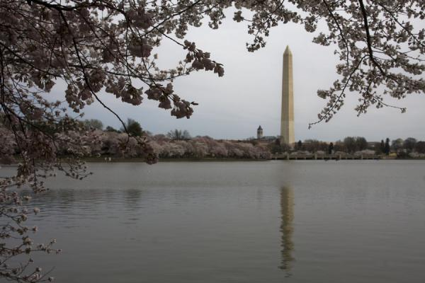 Foto di Reflection of Washington Monument in the Tidal Basin framed by cherry blossoms - Stati Uniti - America