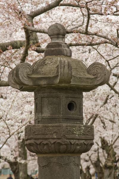 Picture of Tidal Basin (United States): Japanese lantern surrounded by cherry blossoms