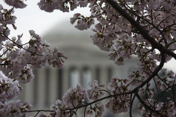 Foto van Jefferson Memorial seen through cherry blossomsTidal Basin - Verenigde Staten
