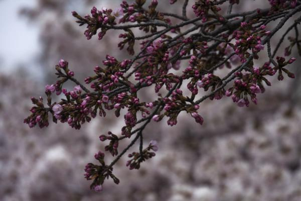Close-up of branch of cherry blossoms | Tidal Basin | Stati Uniti
