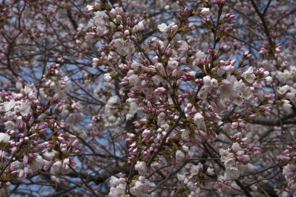 Foto van Close-up of cherry blossomsTidal Basin - Verenigde Staten