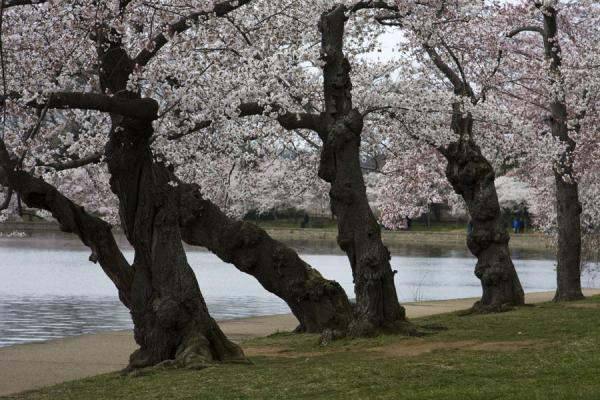 Picture of Tidal Basin (United States): Old cherry trees blossoming next to the Tidal Basin