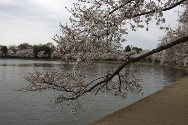 Picture of Cherry blossom branch hanging over the waters of the Tidal Basin