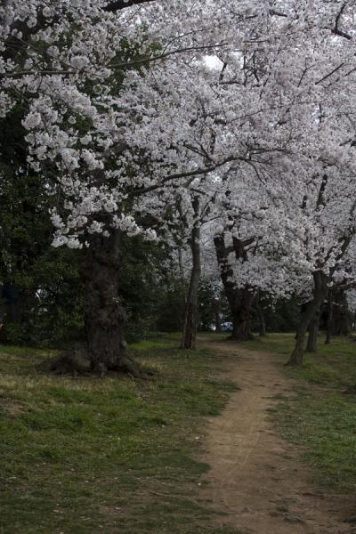 Foto van Cherry blossoms with path running throughTidal Basin - Verenigde Staten