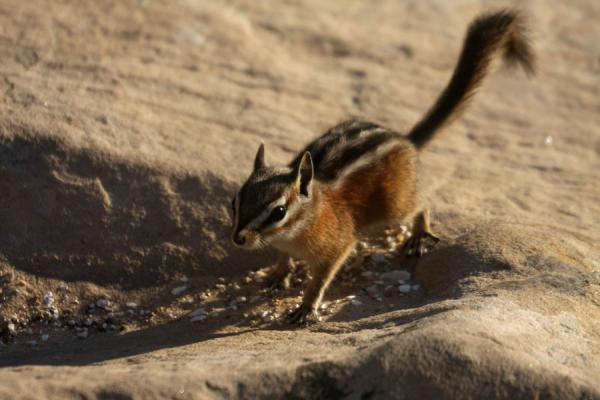 Chipmunk - not curious but looking for food | Zion National Park | U.S.A.