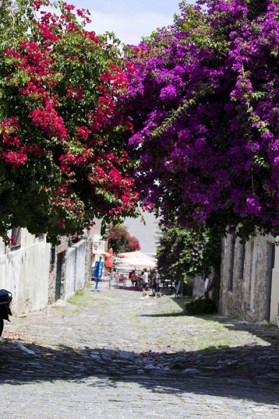 Picture of Flowers bridging a cobble-stoned street in ColoniaColonia - Uruguay
