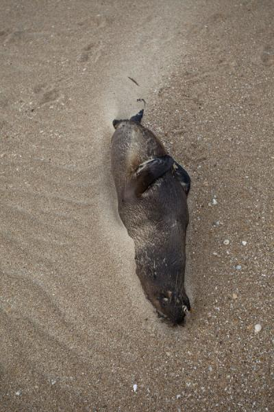 Foto van Dead seal on the beach of La Pedrera - Uruguay - Amerika