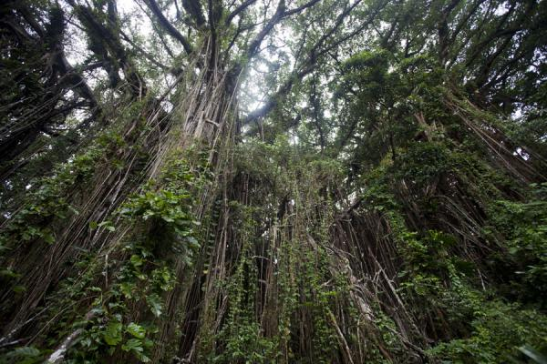 Photo de St Vincent et les Grenadines (Looking up part of the giant banyan tree near the village of Leitouapam)