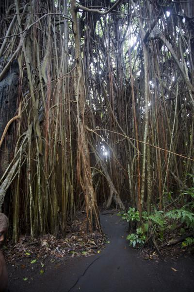 Picture of Giant banyan tree (Vanuatu): There are several paths leading through the maze of aerial roots under the enormous banyan tree