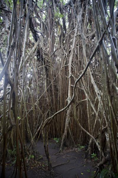 Picture of Giant banyan tree (Vanuatu): Aerial roots under the enormous banyan tree