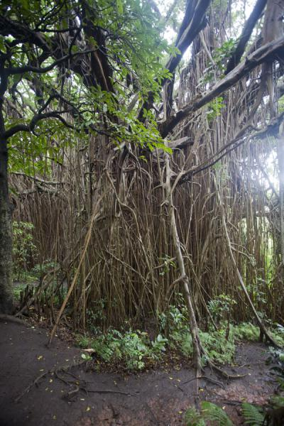 Picture of Giant banyan tree (Vanuatu): In some places, the aerial roots look like a forest under the giant banyan tree