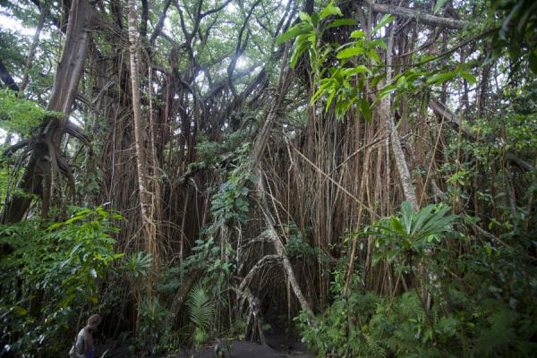 Picture of Giant banyan tree (Vanuatu): Aerial roots and leaves around the base of the giant banyan tree