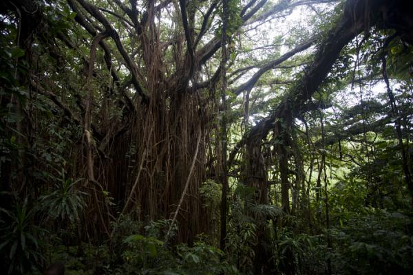 Picture of Giant banyan tree (Vanuatu): View from under the giant banyan tree