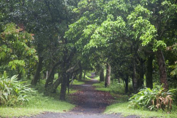 Picture of Tanna traditional village (Vanuatu): Track to the traditional village leading through the forest