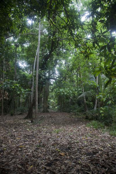 Picture of Wala Island (Vanuatu): Path leading through the forest of Wala to the ceremonial area, or nasal