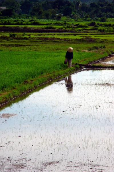 Foto di Walking back home through the ricefieldsCampana di riso - Vietnam