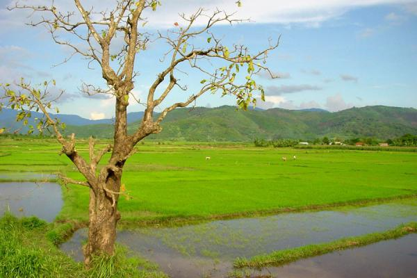 Picture of Vietnam rice fields (Vietnam): Ricefield near Lak lake