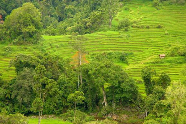 Picture of Vietnam rice fields (Vietnam): Rice terraces in Central Highlands