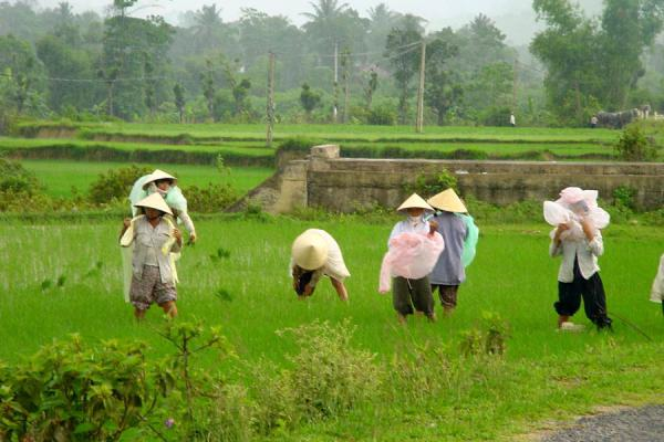 Foto di Putting on coats to continue working the ricefieldCampana di riso - Vietnam
