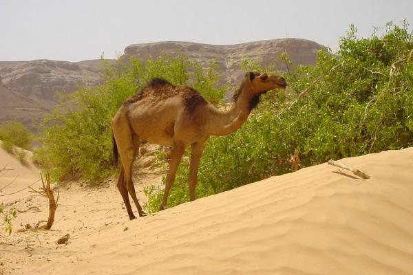 Foto di Dromedary at the foot of Husn al UrrWadi Hadramawt - Yemen