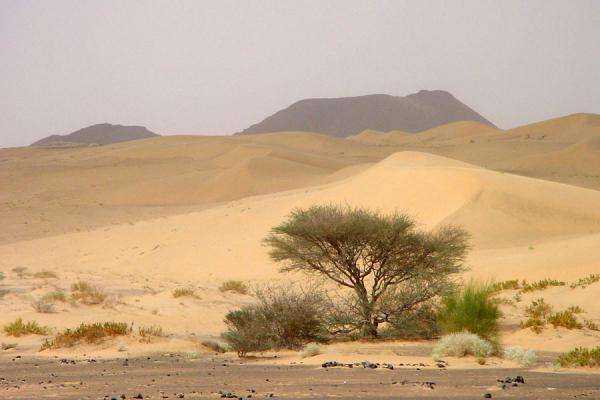 Picture of Marib (Yemen): Marib desert: lone tree in the desert