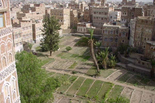 Picture of Old San'a (Yemen): Agriculture right in the heart of Old San'a