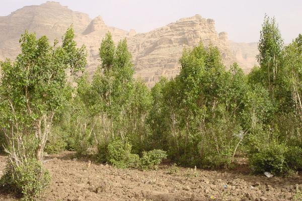 Picture of Qat (Yemen): Qat plants in a plantation near San'a