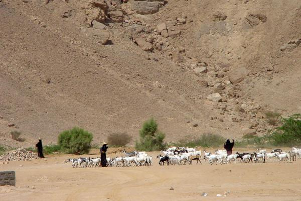 Foto de Some of those mysterious women herding goatsWadi Hadramawt - Yemen