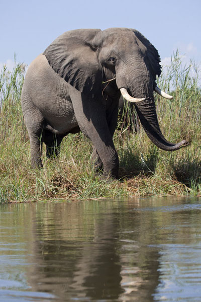 Picture of Elephant at the bank of the Zambezi river