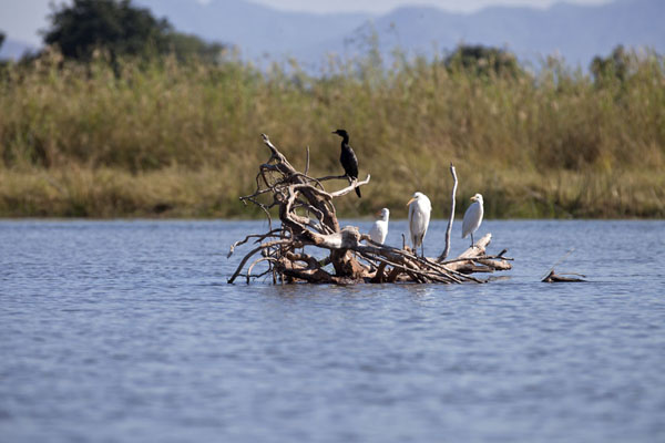 Birds on a branch in the Zambezi river | Kiambi Lower Zambezi | Zambia