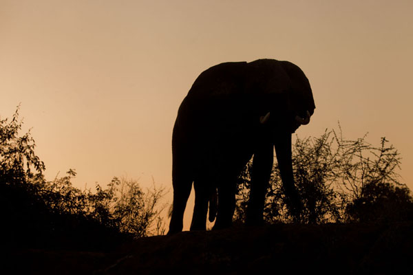 Foto van Sunset behind an elephantLower Zambezi - Zambia