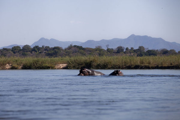 Foto van Hippos in the riverLower Zambezi - Zambia