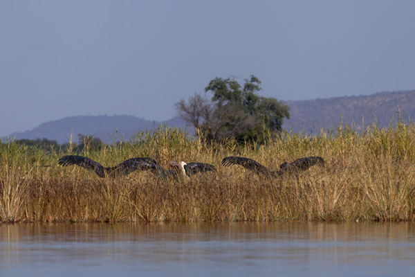 Marabou birds stretching their wings on land | Kiambi Lower Zambezi | 尚比亚