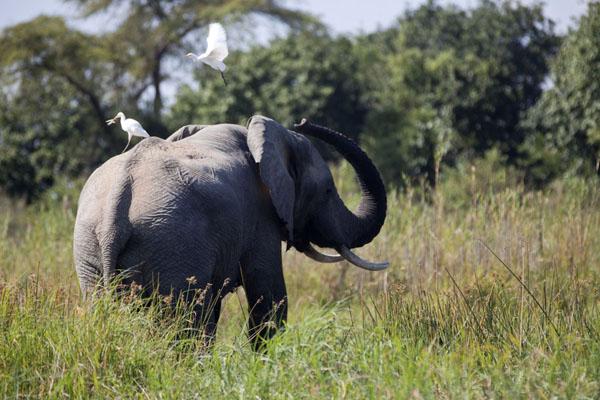 Picture of Elephant with white bird on his back on the banks of the Zambezi river