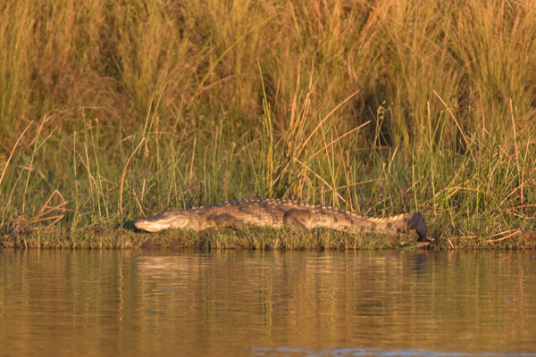 Foto van Crocodile lying on the banks of the ZambeziLower Zambezi - Zambia