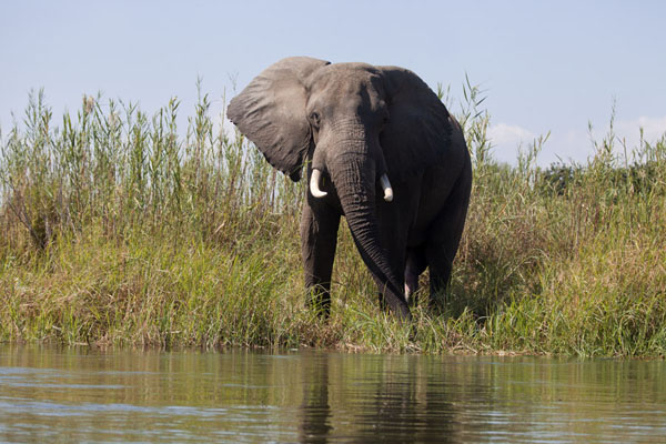 Foto de Zambia (The banks of the Zambezi river with an elephant)