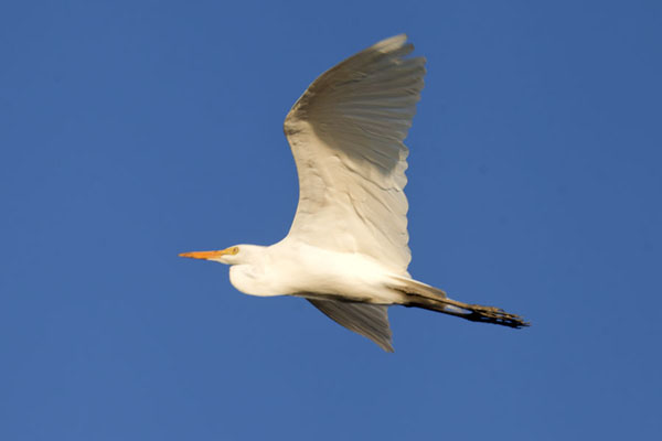 White egret in flight | Kiambi Lower Zambezi | 尚比亚