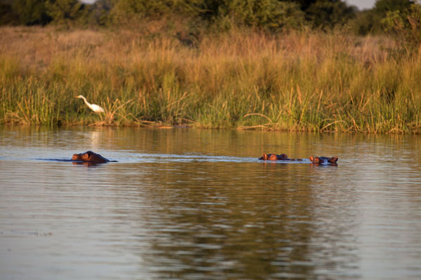 Hippos floating in the Zambezi | Kiambi Lower Zambezi | Zambie