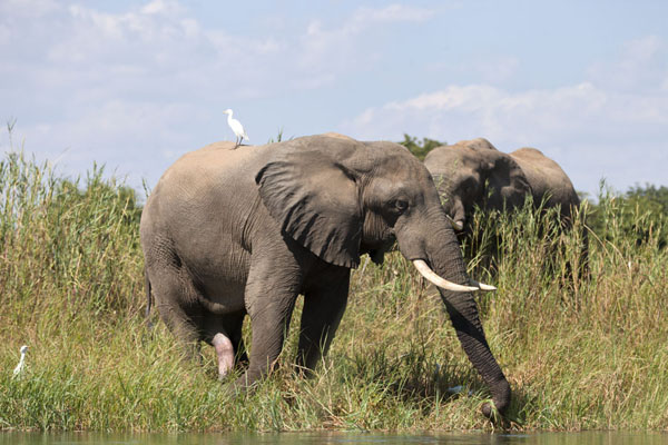 Picture of Grazing elephants on the banks of the Zambezi - Zambia - Africa